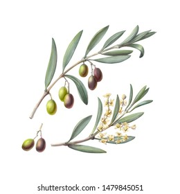 Olive Branch Pencil Illustration Isolated on White
