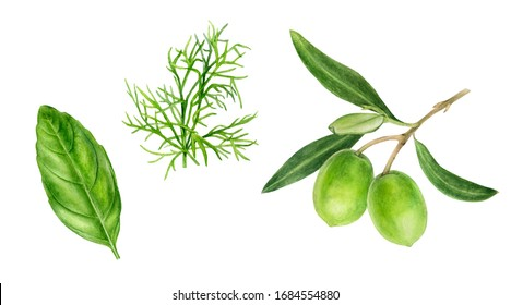 Olives branch basil dill watercolor isolated on white background