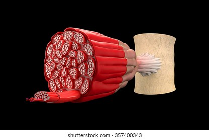 On a black background shows the structure of the muscle cross-sectional sectional anatomy of the muscles or muscle fibers.