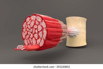On gray background shows the structure of the muscle cross-sectional sectional anatomy of the muscles or muscle fiber.
