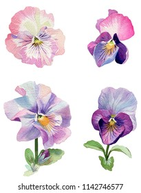 On a white background, pansies of a pink color are depicted. Painted in watercolor.