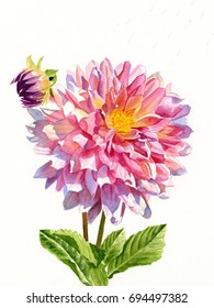 One Colorful dahlia on white with bud.  Watercolor painting, illustration style, of one bright pink dahlia blossom with shadows on a white background