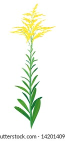 One green goldenrod plant with small yellow staminate flowers isolated illustration