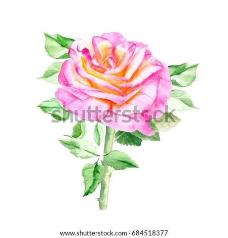 one pink yellow rose rose bush stock illustration 684518377