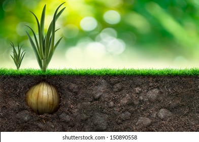 Onion Bulb And Grass in Green Background