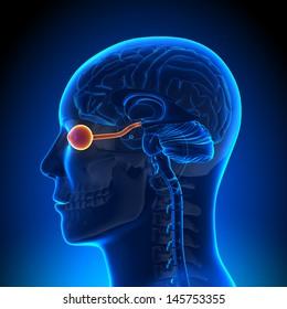 Optical Nerve Eye - Anatomy concept