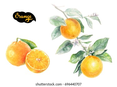 Orange Citrus fruit isolated on white background, watercolor illustration
