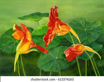 Orange Nasturtiums with Leaves 2. Watercolor hand painted illustration of three orange nasturtiums with green leaves.