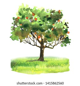 Orange and tangerine tree with ripe fruit on green grass, citrus garden, harvest, isolated, hand drawn watercolor illustration on white background