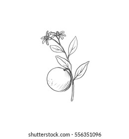 orange tree branch with fruits, leaves, buds and flowers drawing by graphite pencil,isolated hand drawn elements