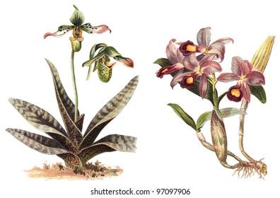 Orchid - left Paphiopedilum venustum and right Cattleya Skinneri / vintage illustration from Meyers Konversations-Lexikon 1897