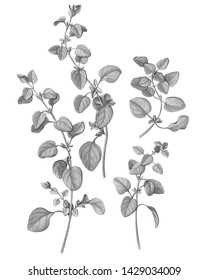 Oregano Pencil Drawing Isolated on White