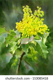Oregon Grape Wildflower. Watercolor illustration, painting, of Oregon grape, aquifolium, grown in  northwest and  western part of USA, also South American. It is the Oregon state flower.