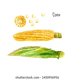 Organic Corn Watercolor Maize, zea mays. hand drawn sweetcorn painting on white background. Illustration for  invitations, and other printing project. sketch of fruit harvest organic food watercolour.