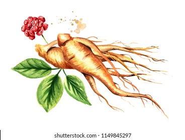 Organic fresh ginseng root and green leaves. Watercolor hand drawn illustration isolated on white background