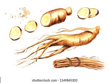Organic fresh ginseng root set. Watercolor hand drawn illustration, isolated on white background