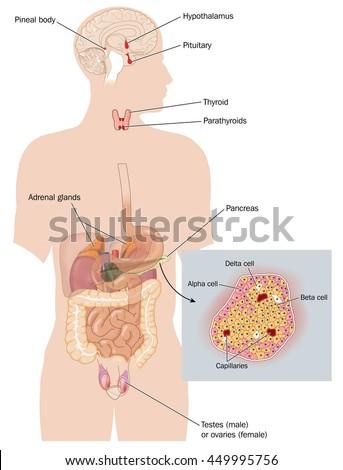 Organs That Form Endocrine System Sites Stock Illustration 449995756 ...