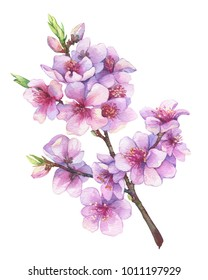 Oriental cherry branch with pink flowers. Japan sakura blossom. Traditional japanese sumi-e style. Apple-tree flowers. Watercolor hand drawn painting illustration isolated on a white background.