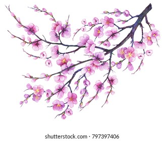 Oriental Japan sakura cherry branch with pink flowers. Watercolor hand drawn painting illustration isolated on a white background.