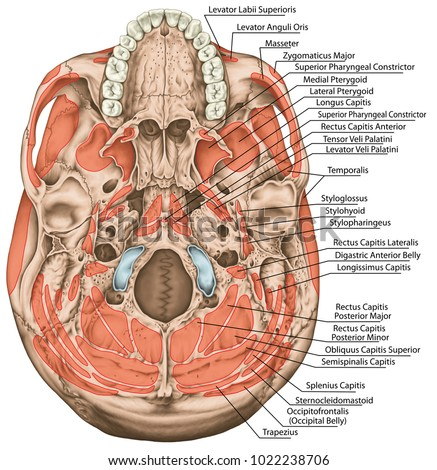 Origins Insertions Head Muscles Muscles Cranium Stockillustration ...