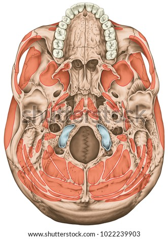Origins Insertions Head Muscles Muscles Cranium Stock Illustration