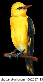 Oriole realistic drawing on black background (Oriolus)
