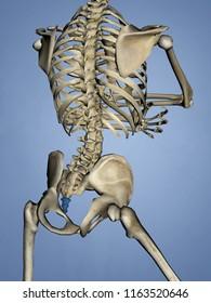 Os coccygis, 3D Model