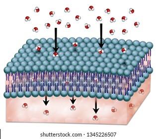 osmosis through cell membrane