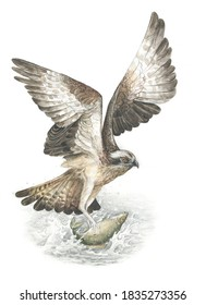 Osprey (Pandion haliaetus) catching fish flies over the water in gray and brown detailed vintage classic technique style watercolor and pencil on white background