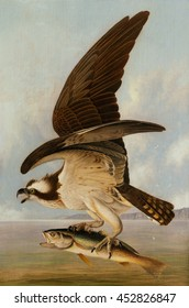 Osprey and Weakfish, by John James Audubon, 1829, American painting, oil on canvas. This was the original artwork for the hand colored engraving in 'Birds of America', 1827-38