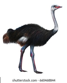 Ostrich realistic drawing (Struthio)