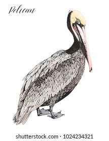 Outline ink drawing of standing pelican. Ocean bird illustration.