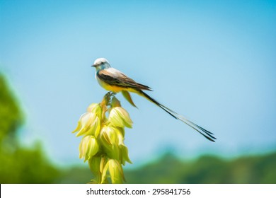 Painting of a Scissor tailed Flycatcher sitting on a flower