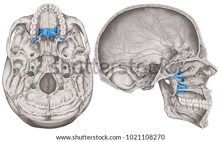 Palatine Bone Cranium Bones Head Skull Stock Illustration 1021108270 ...