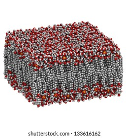 Palmitoyloleoylphosphatidylcholine (POPC)  lipid bilayer in water, molecular model. Atoms are represented as spheres with conventional color coding: hydrogen (white), carbon (grey), oxygen (red), etc