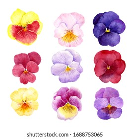 pansy flowers drawing by watercolor, hand drawn illustration