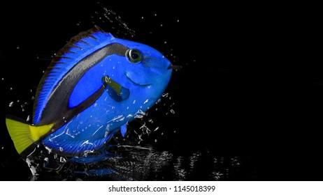 Paracanthurus hepatus surgeon fish above water with vivid colors 3d render