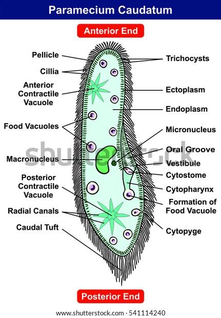 Paramecium Caudatum Diagram Single Celled Protist Stock