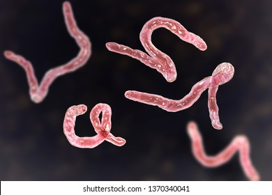 Parasitic hookworm Ancylosoma, 3D illustration. Ancylostoma duodenale can infect humans, dogs and cats, its head has several tooth-like structures