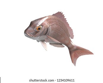 Pargus common seabream fish with pink in color 3d render