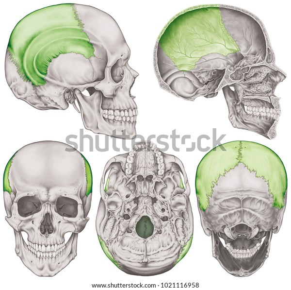 The parietal bone of the cranium, the bones of the head, skull. The individual bones and their salient features in different colors. Anterior,  posterior, inferior, lateral and sagittal view.