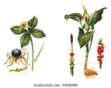 Paris quadrifolia (left) - Arum maculatum (right) - poisonous plants / vintage illustration from Meyers Konversations-Lexikon 1897