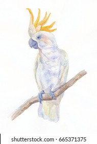 Parrot cockatoo. Watercolor illustration.
