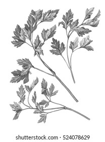Parsley Leaves Black and White Pencil Drawing Isolated on White