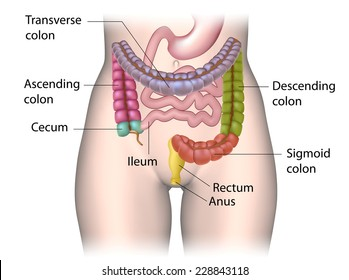 Parts of colon color coded labeled.