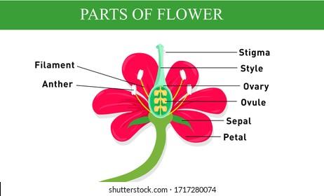 Parts of Flower (biology diagram)