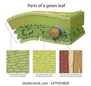 Parts of a green leaf. Epidermis, mesophyll, veins.