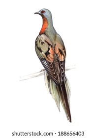 Passenger Pigeon or Wild Pigeon (Ectopistes migratorius)