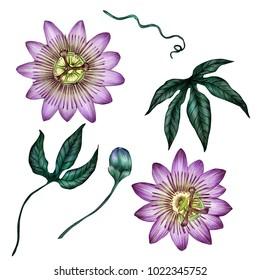 Passioflora illustration isolated on white background.