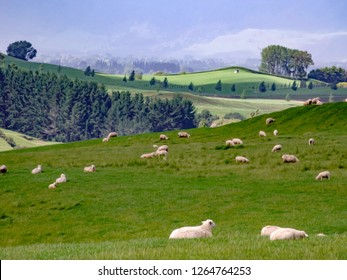 Pastoral scene with flock of sheep (binomial name: Ovis aries) on green hill in Waikato region of North Island of New Zealand, with digital oil-painting effect